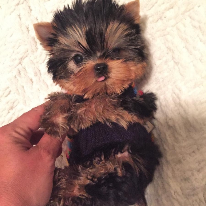 Cute AKC Yorkshire Terrier Puppy for Adoption - 12 Weeks Old